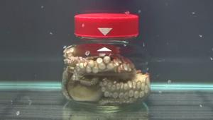 Bijeg hobotnice iz zatvorene staklenke